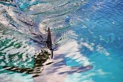 Haj med den rygg- fena för röd spets i blått vatten Arkivfoton