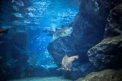 Haj med fisken som är undervattens- i naturligt akvarium Arkivbild