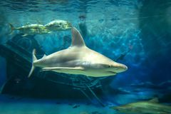 Haj- och fisksimning i ett akvarium fotografering för bildbyråer