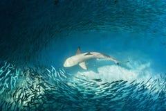 Haj och små fiskar i havet Royaltyfria Bilder