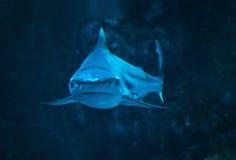 Haj på slutet för blått vatten som ser upp kameran royaltyfri bild