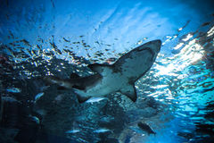 Haj som är undervattens- i naturligt akvarium Fotografering för Bildbyråer