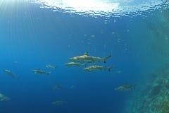 hajar Arkivbild
