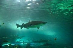 Hajar i akvarium royaltyfri fotografi
