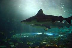 Hajar i akvarium Royaltyfria Bilder