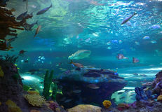 Hajar i akvarium Fotografering för Bildbyråer