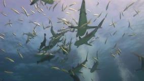 Hajar i sökande av mat på reven lager videofilmer