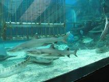 Hajar och den tropiska fisken inom en behållare i oceanariumen, det Manila havet parkerar, Manila royaltyfri bild