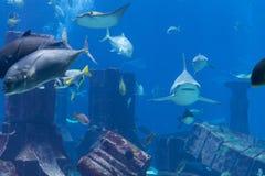 Hajar, strålar och annan stor fisk på ett offentligt akvarium Arkivfoton