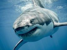 Hajs för stor vit leende Fotografering för Bildbyråer