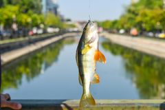 Hakad fisk med vägen i den i stadens centrum floden av staden Fiska på den stora ner bron i en solig sommardag closen colors slap royaltyfri foto