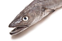 Hake fish. Stock Image