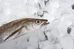 Hake fish  on ice Stock Photos