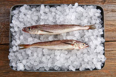 Hake fish on ice side view Royalty Free Stock Images