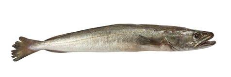 Hake fish isolated. Fresh Hake fish isolated on white background Stock Photography