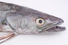 Hake fish. Raw hake fish on white background Royalty Free Stock Photo