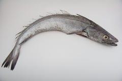 Hake fish. Raw whole hake fish on white background Royalty Free Stock Images
