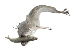 Hake hunting small fish Royalty Free Stock Image
