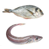 Hake and sea bream fish Stock Images