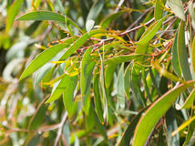 Hakea laurina leaves outdoors Stock Photography
