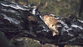 Hakkend hout met een bijl stock videobeelden