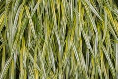 Hakone grass Stock Photo