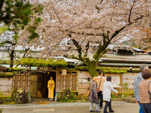 HAKONE, JAPAN - JULY 02, 2017: Unidentified people walking and enjoying in hanami park during cherry blossom season in Royalty Free Stock Photos