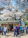HAKONE JAPONIA, LIPIEC, - 02, 2017: Niezidentyfikowani ludzie chodzi w parku i cieszy się widok w han parku podczas wiśni Zdjęcie Royalty Free