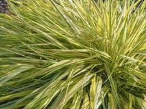 Hakonechloa Den naturliga bakgrunden av växter, Hakonechloa Dekorativa växter för att landskap arbeta i trädgården och parkerar H royaltyfria foton