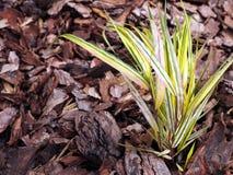 Hakonechloa macra 'Aureola' - Golden japanese forest grass. Stock Photos