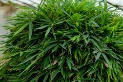 Hakonechloa macra Aureola Japanese forest grass, Hakone grass