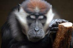 Hakuna Matata piękna małpa obraz stock