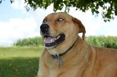 Halètement de chien observé par bleu Images libres de droits