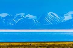 Hala Lake och för snö korkad Qilian bergskedja, Qinghai-Tibet Platea, Kina royaltyfria foton