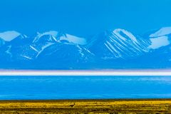 Hala Lake und Schnee bedeckten Qilian-Gebirgszug, Qinghai-Tibet Platea, China mit einer Kappe lizenzfreie stockfotos
