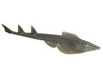 Halavi-Guitarfish lokalisiert auf weißem Hintergrund Lizenzfreies Stockfoto