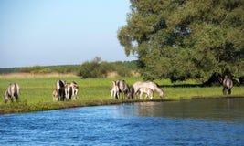 Halb--horsed Tarpany-Pferde auf dem Biebrza-Fluss Lizenzfreie Stockfotografie