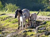 Halb--horsed Tarpany-Pferde auf dem Biebrza-Fluss Lizenzfreie Stockbilder