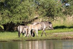 Halb--horsed Tarpany-Pferde auf dem Biebrza-Fluss Stockfoto
