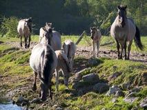 Halb--horsed Tarpany-Pferde auf dem Biebrza-Fluss Lizenzfreies Stockfoto