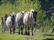Halb--horsed Tarpany-Pferde auf dem Biebrza-Fluss Stockfotografie