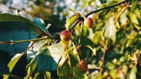 Halb-reifer Kirschbaumast mit Paaren der geschmackvollen Frucht auf Wind Schließen Sie herauf halb-reife frische Kirsche stock video footage