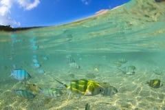 Halb Underwater von den Sergeant Major-Maiden, die schulen, um unde einzuziehen lizenzfreie stockfotos