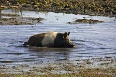 Halb-wildes Schwein, das innerhalb des Schlammes crowling ist Stockfotografie