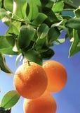 Halbe Mangofrucht Lizenzfreie Stockfotos