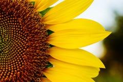 Halbe Sonnenblume Lizenzfreie Stockbilder