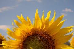 Halbe Sonnenblume Lizenzfreie Stockfotografie