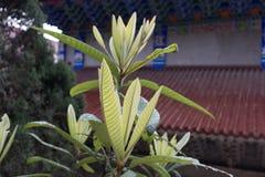 Halber Tempel der Linde-Blätter-EIn Gebirgs Lizenzfreie Stockfotografie