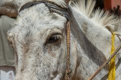 Halbes Porträt eines weißen Esels stockfotografie