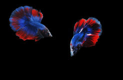Halbmond Betta Fish, Betta-Fisch, siamesische kämpfende Fische, betta splendens lokalisiert auf schwarzem Hintergrund Stockfoto